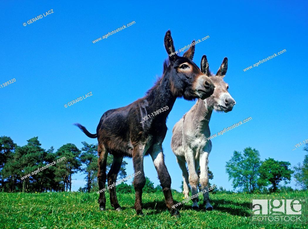 Stock Photo: French Grey Donkey with Domestic Donkey, Adults.