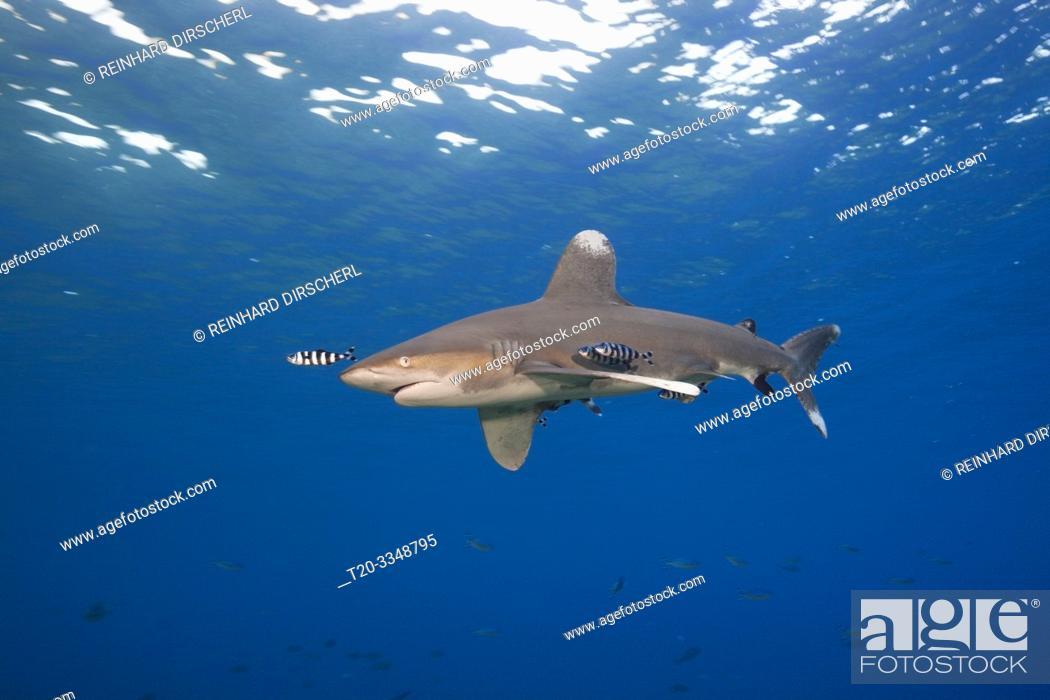 Stock Photo: Oceanic Whitetip Shark, Carcharhinus longimanus, Atlantic Ocean, Bahamas.