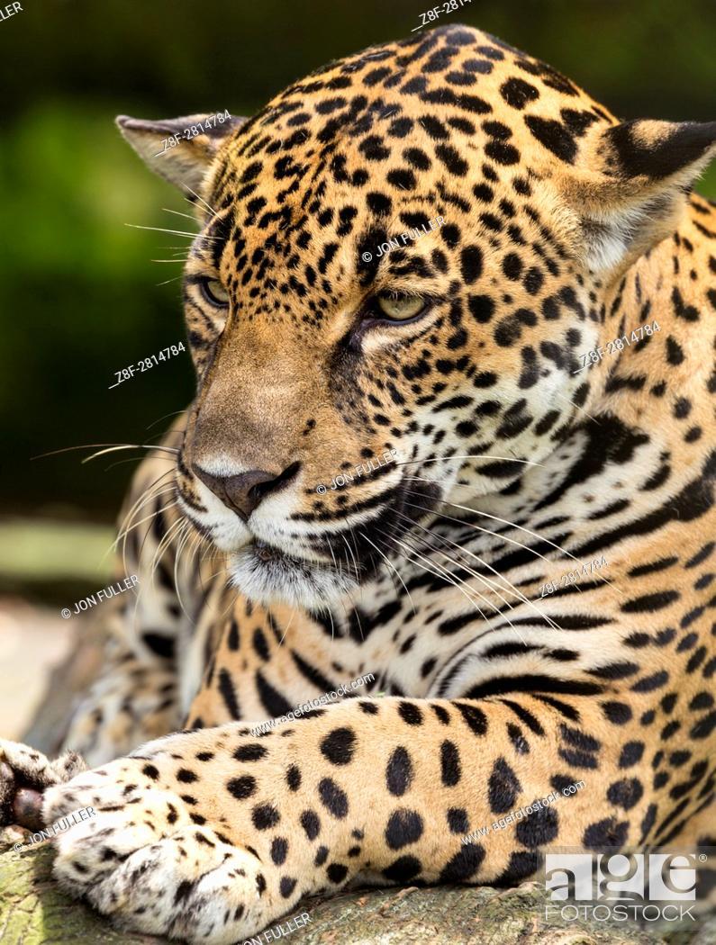 Stock Photo: Jaguar, Panthera onca, in a private reserve in Costa Rica.