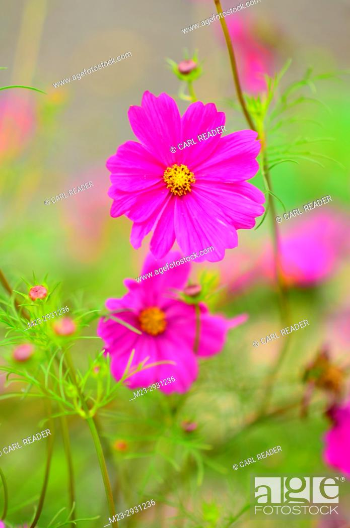 Stock Photo: A vertical rendition of a cosmos flower in soft focus, Pennsylvania, USA.
