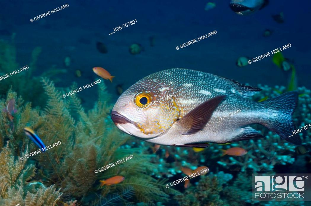 Stock Photo: Midnight snapper, Blac-and-white snapper (Lutjanus macularis).  Bali, Indonesia.