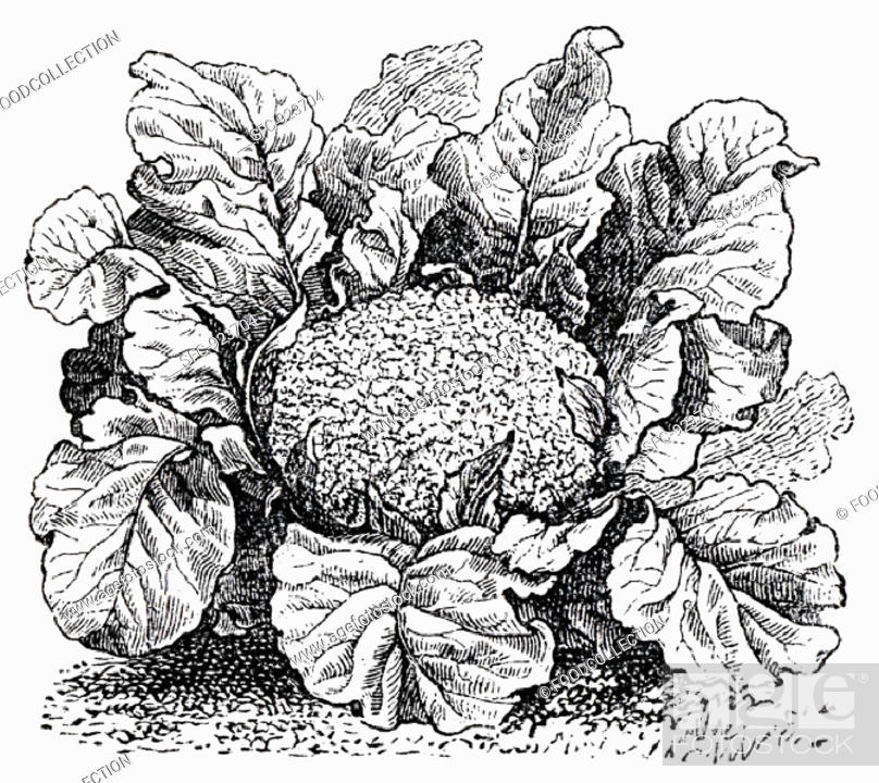 Stock Photo: Cauliflower (illustration).