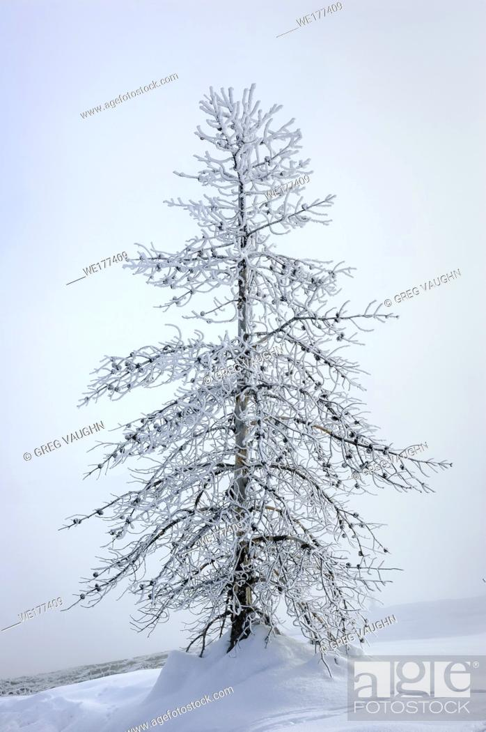 Stock Photo: Frosted pine tree, West Thumb Geyser Basin, Yellowstone National Park, Wyoming.