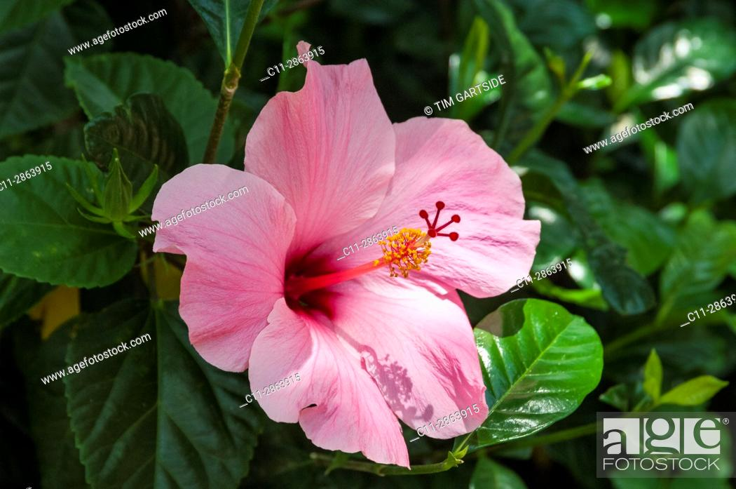 Imagen: habiscus pink flower, florida, usa.
