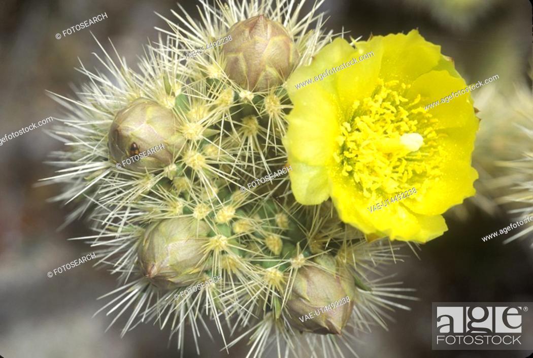 Stock Photo: Buckhorn Cholla Cactus, Anza Borrego Desert.