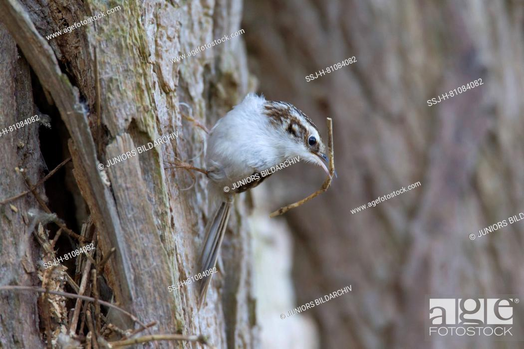 Imagen: Common Treecreeper (Certhia familiaris) with nesting material. Germany.