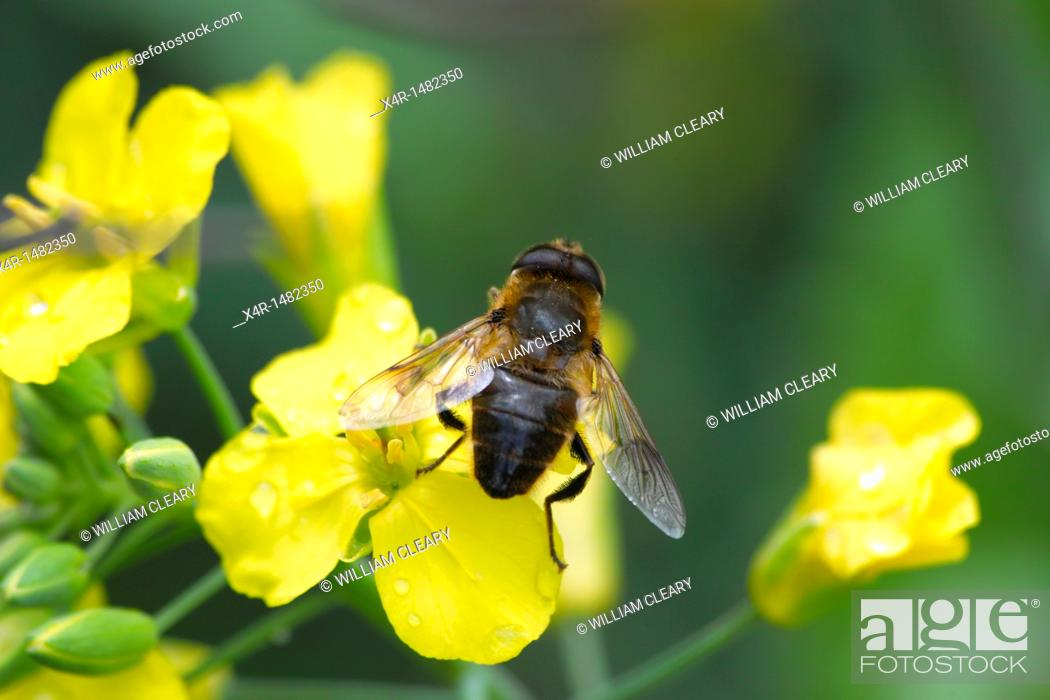 Stock Photo: Hoverfly resting on brassicas flower.