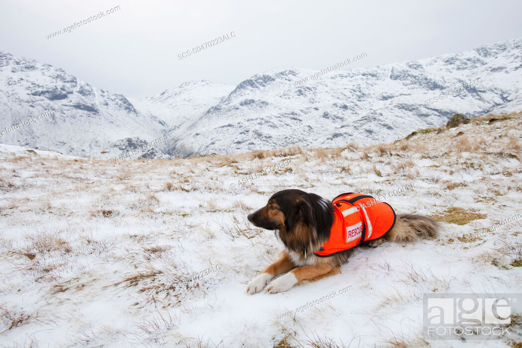 Stock Photo: A SARDA Search and Rescue Dog Association dog on a search for a missing walker in the Lake District UK.