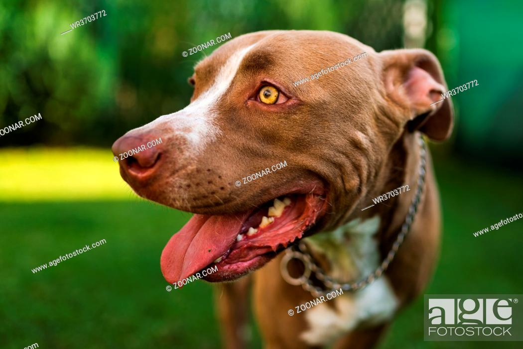 Stock Photo: Closeup of young Amstaff dog head against green background in summer garden. Pitbull theme.
