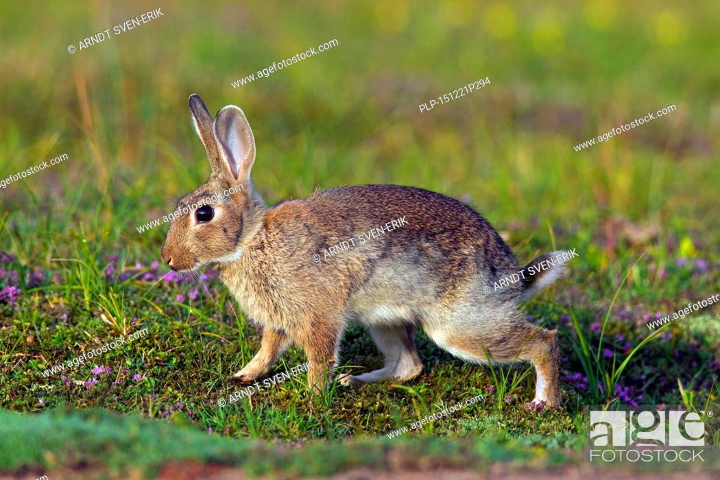 Stock Photo: Young European rabbit / common rabbit (Oryctolagus cuniculus) in meadow in summer.