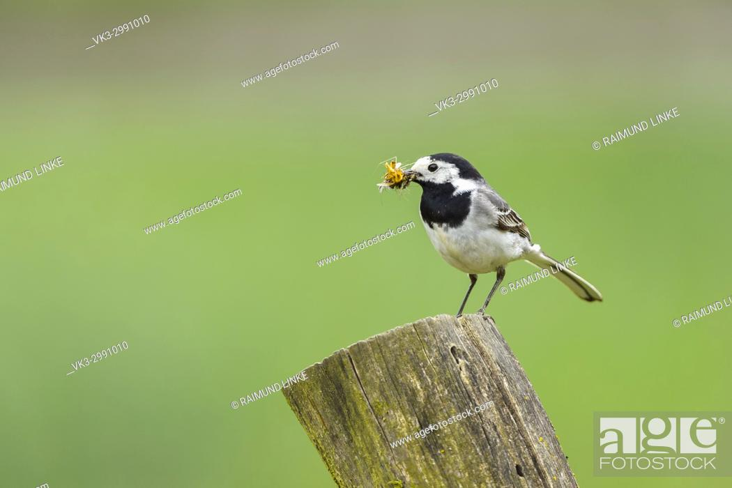 Photo de stock: White Wagtail, Motacilla alba, with Insects in Beak.