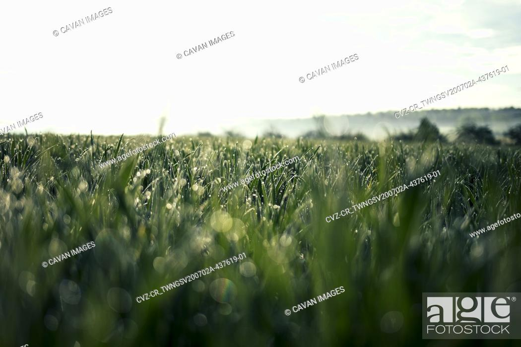 Stock Photo: Beautiful Rich Green Grass in Morning Light with Rain or Dew Water Drops and Bokeh.