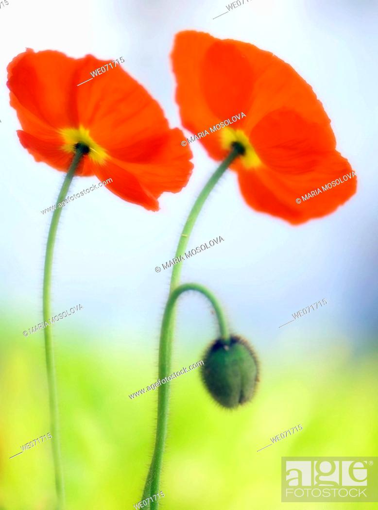 Stock Photo: Two Red Poppies and a Bud. Papaver nudicaule. March 2007, South Carolina, USA.