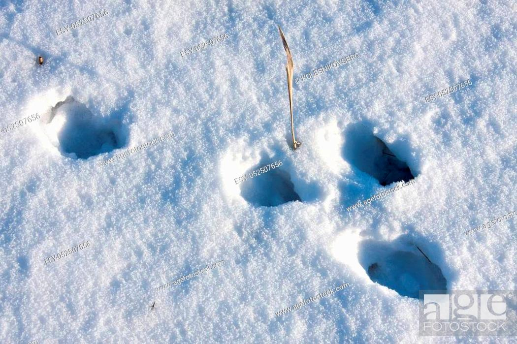 Stock Photo: hare tracks in winter in the snow.