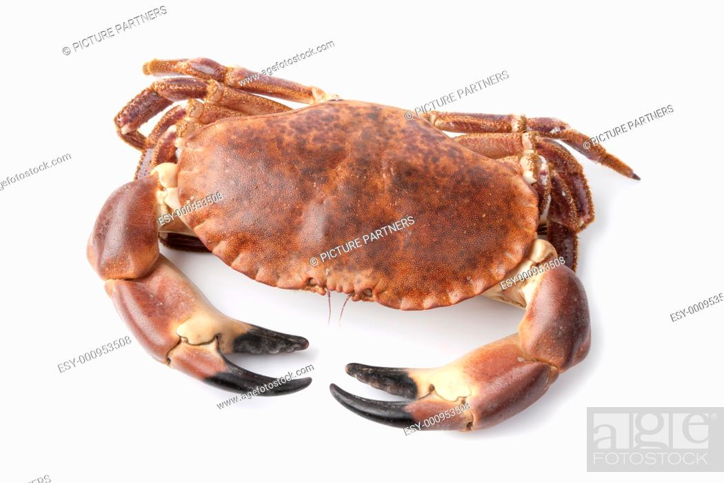Stock Photo: Fresh raw edible sea crab isolated on white background.