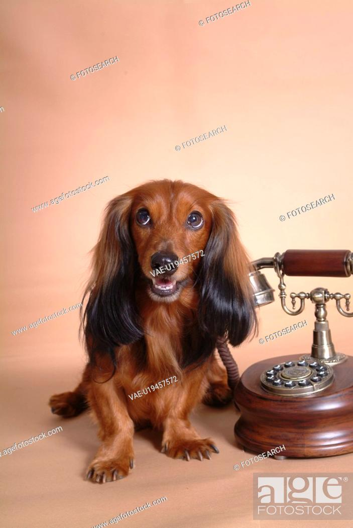 Stock Photo: looking away, telephone, domestic animal, antique telephone, classical telephone, dachshund.