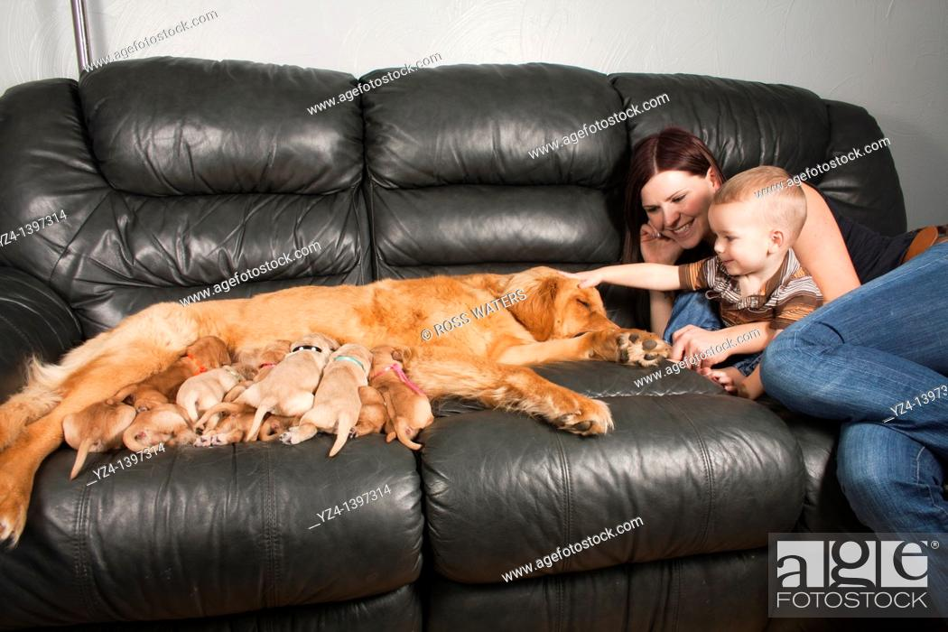 Stock Photo: A mother and toddler sitting with their Golden Retriever female dog and her eleven one-week-old puppies.