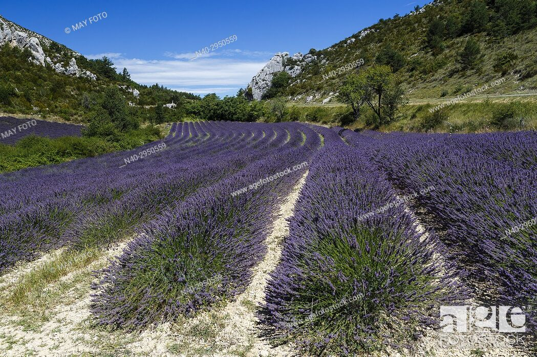 Stock Photo: Provence, lavender fields, France, Europe.