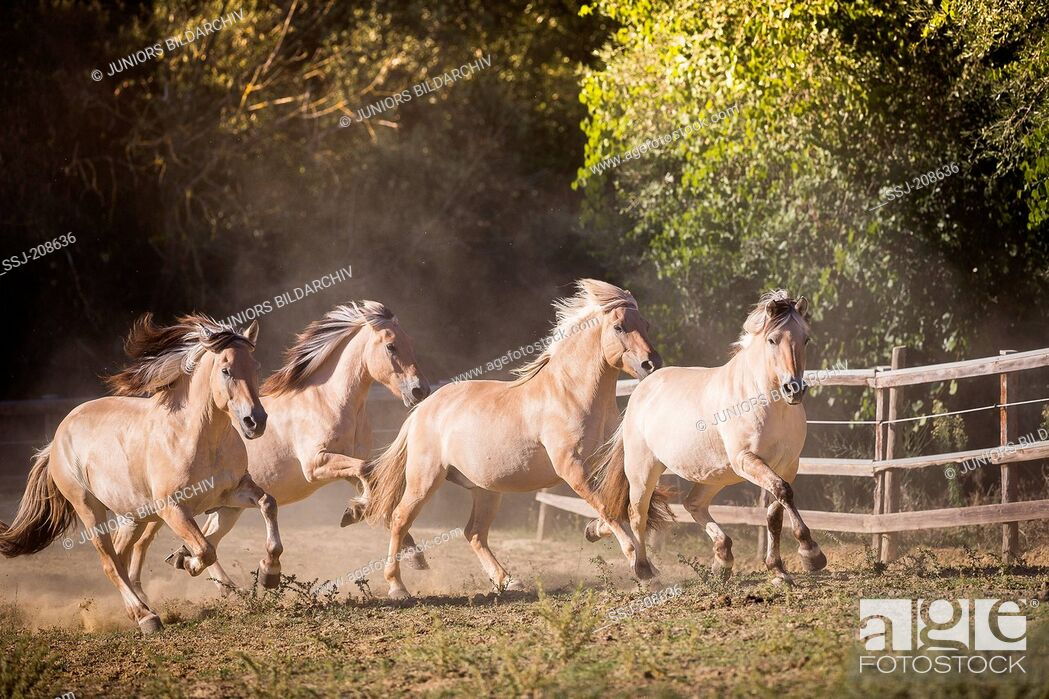 Imagen: Norwegian Fjord Horse. Four adults trotting and galloping on a pasture. Italy.