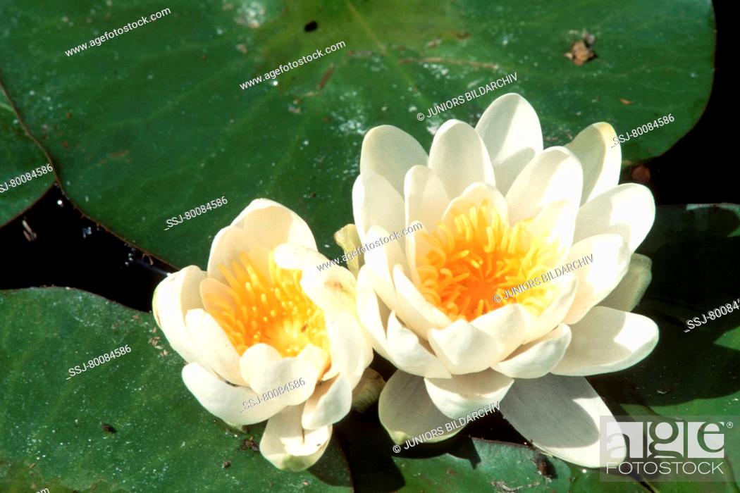 Stock Photo: DEU, 2002: White Water Lily (Nymphaea alba), flowers.