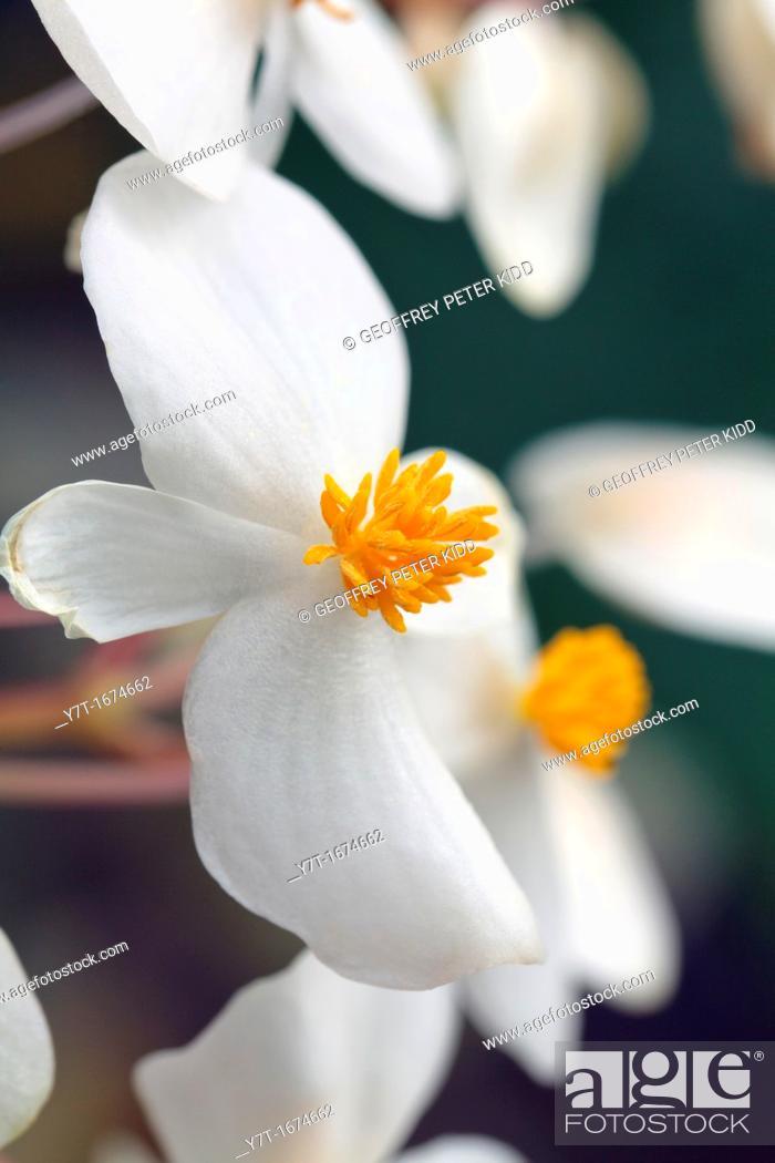 Stock Photo: Begonia minor syn  Begonia suaveolens.