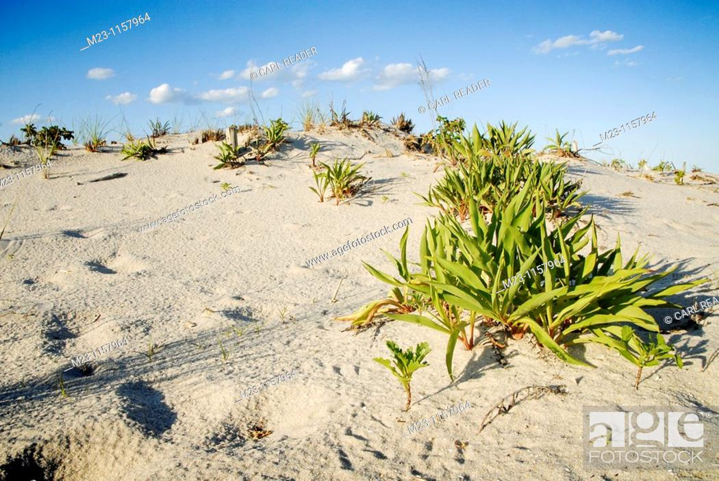 Imagen: A march of green plants up a hill on the dunes, Long Beach Island, New Jersey, USA.