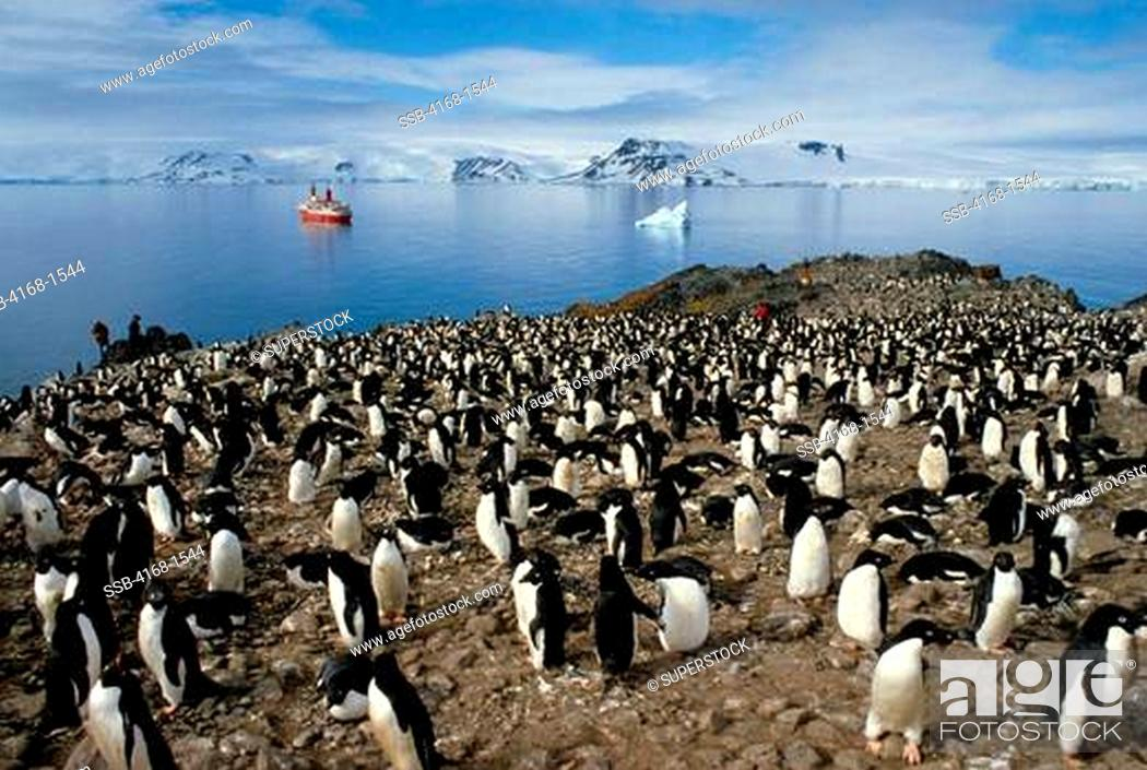 Stock Photo: ANTARCTICA, KING GEORGE ISLAND, ADELIE PENGUIN COLONY WITH MS WORLD DISCOVERER IN BACKGROUND.