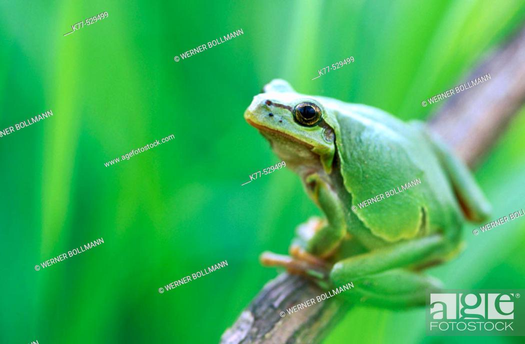Stock Photo: Common Tree Frog (Hyla arborea). Lower Saxony, Germany.