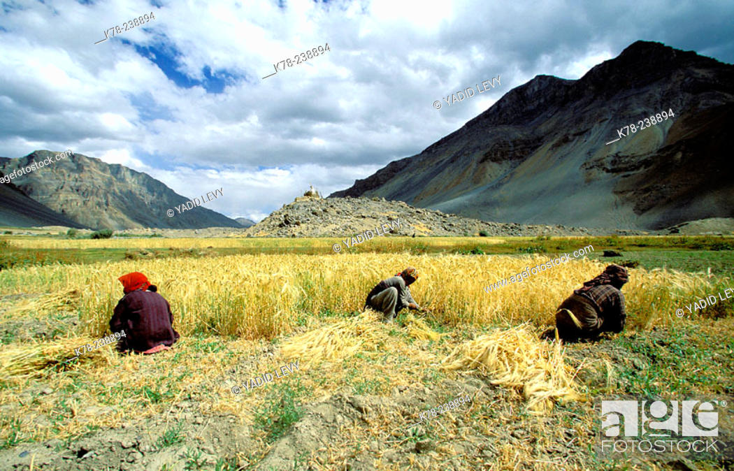 Stock Photo: Local peasants harvesting their crops. Himalaya Mountains. India.