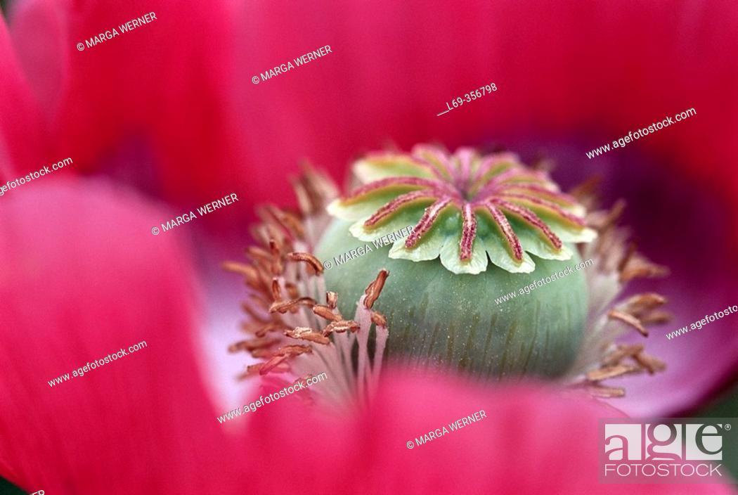 Stock Photo: Opium Poppy (Papaver somniferum), bloom with seed case and stamens. Austria.