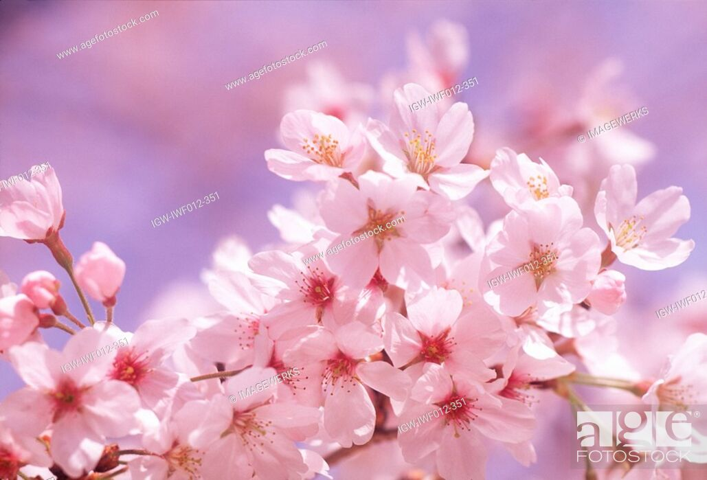 Stock Photo: Cluster of white flowers.