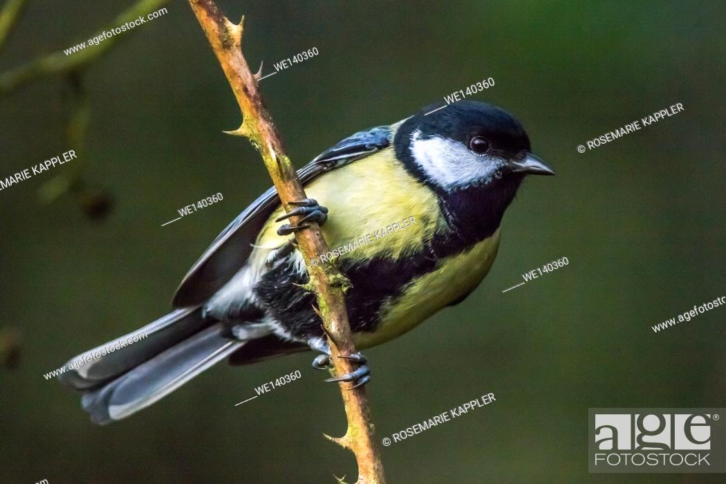 Stock Photo: Germany, Saarland, Kirkel, Great tit on a branch.