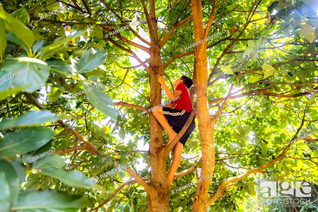 Stock Photo: Native cuban boy climbing in a tree to pluck an avocado in Topes de Collantes, Trinidad, Republic of Cuba, Caribbean, Central America.