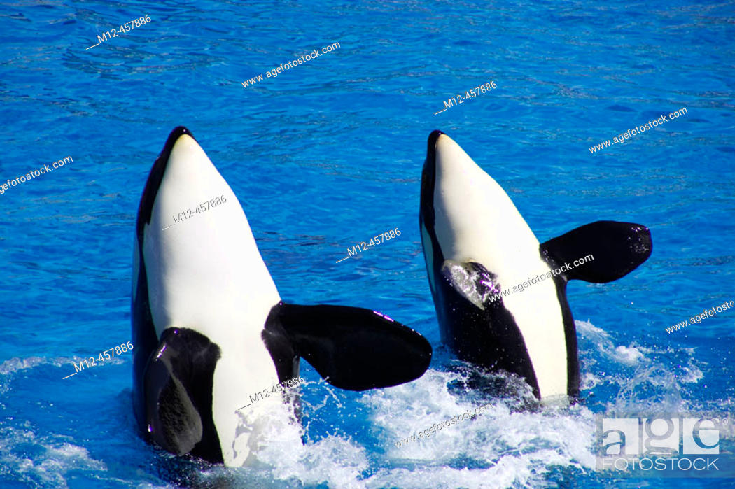 Stock Photo: Orcas perform for the crowd.