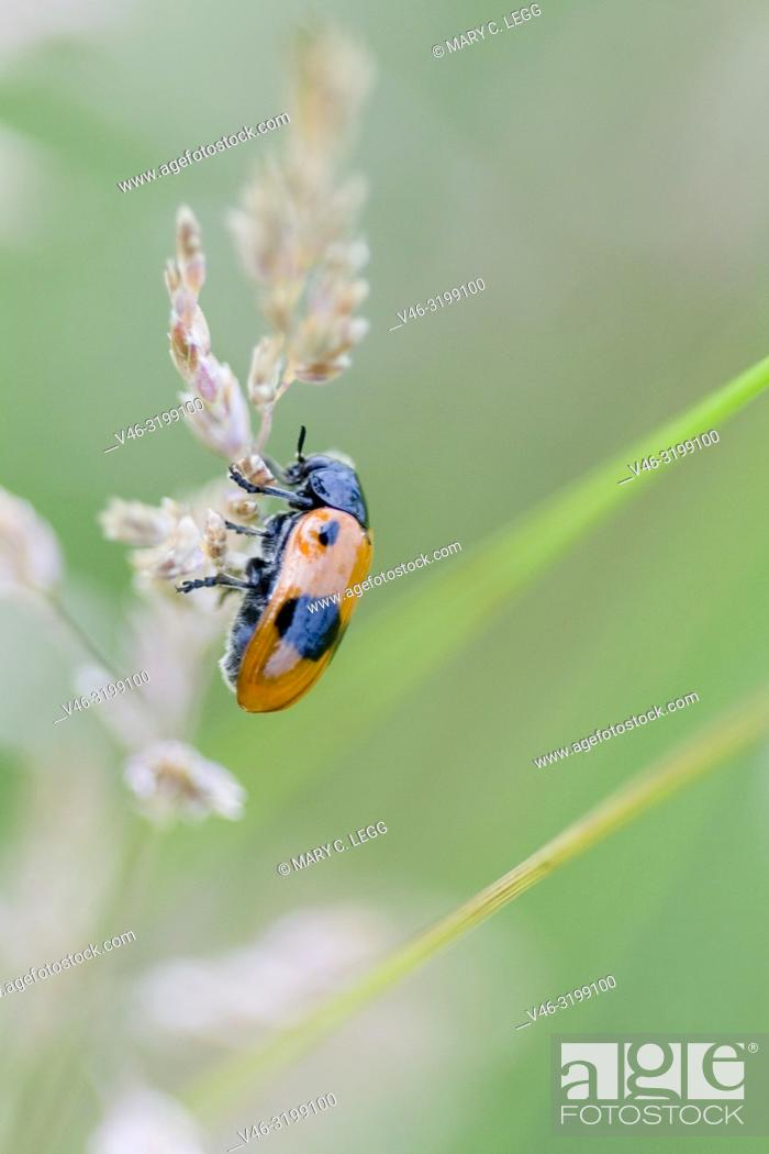 Stock Photo: Clytra laeviuscula, a bright red or orange beetle with two large black patches and two black shoulder spots found in limestone grasslands. 7. 5-11.