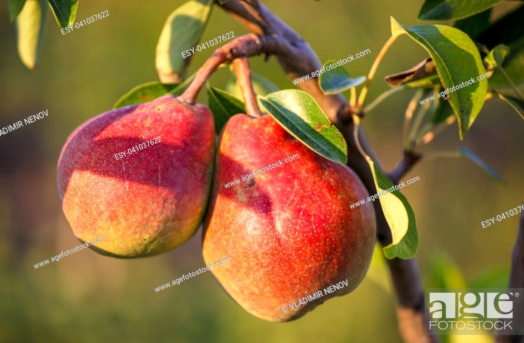 Stock Photo: Juicy mature pear harvested in organic technology.