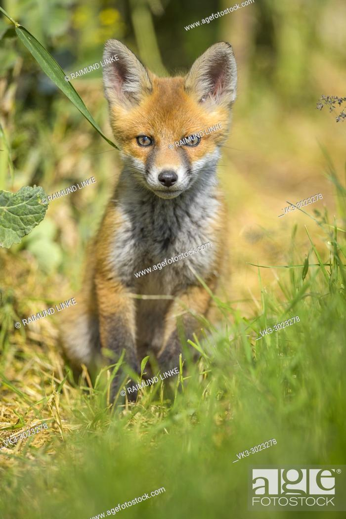 Stock Photo: Red Fox, vulpes vulpes, Young Fox, Germany, Europe.