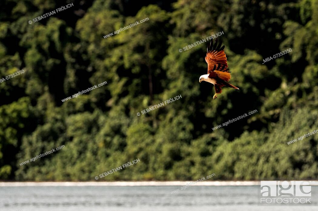 Stock Photo: White-tailed Eagle hunting on the beach, Indonesia.