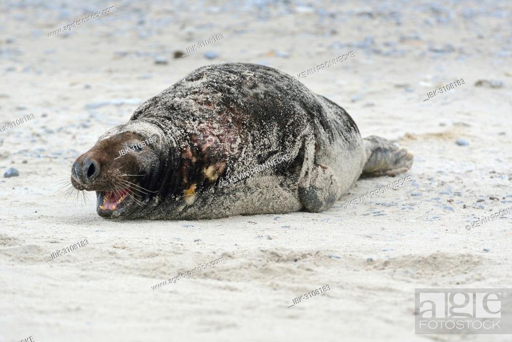 Stock Photo: Grey Seal (Halichoerus grypus), on the beach, Düne island, Helgoland, Schleswig-Holstein, Germany.