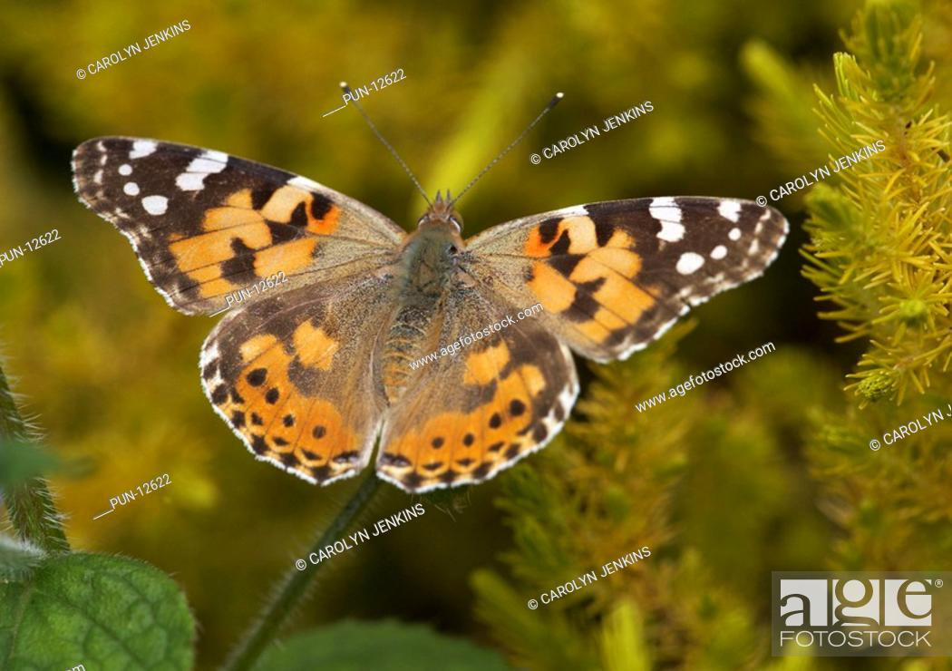 Stock Photo: Painted lady butterfly Vanessa cardui on green alkanet Pentaglottis sempervirens at Bournemouth in May.