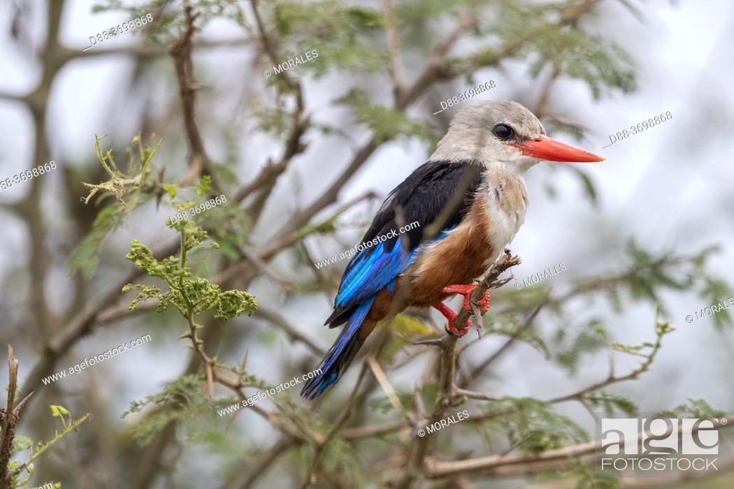 Photo de stock: Grey-headed Kingfisher (Halcyon leucocephala), perched, Ishasha Sector, Queen Elizabeth National Park, Uganda, Africa.
