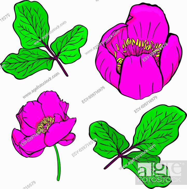 Stock Vector: painted dark red peony of a Crimean or peony taurian and green twig with leaves isolated on a white background.