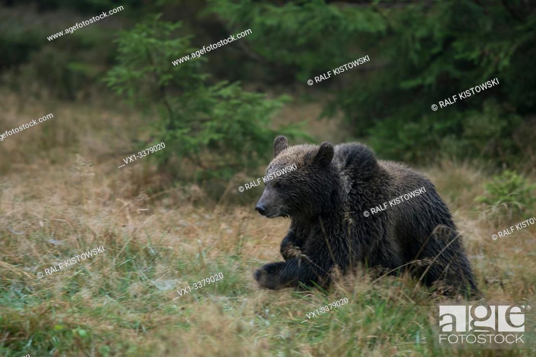 Stock Photo: Cup of European Brown Bear / Europaeischer Braunbaer (Ursus arctos ) runs over a clearing, early morning, panning shot. .