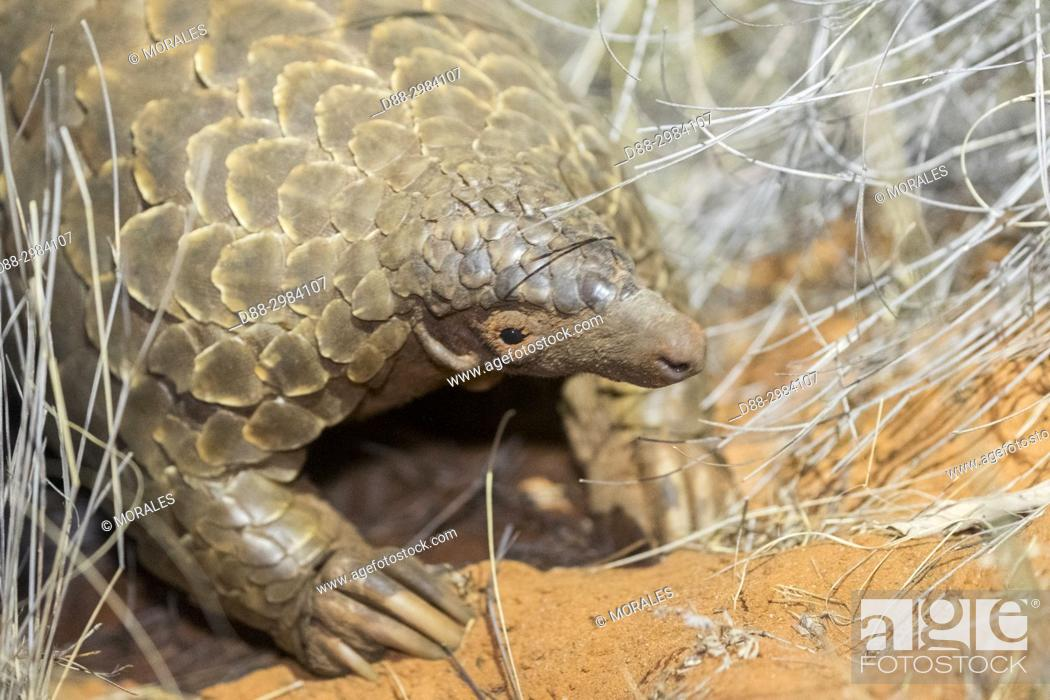 Stock Photo: Africa, Southern Africa, South African Republic, Kalahari Desert, Ground pangolin or Temminck's pangolin or the Cape pangolin (Smutsia temminckii).