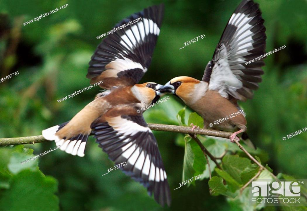 Stock Photo: Hawfinch Coccothraustes coccothraustes - 2 birds fighting over food.