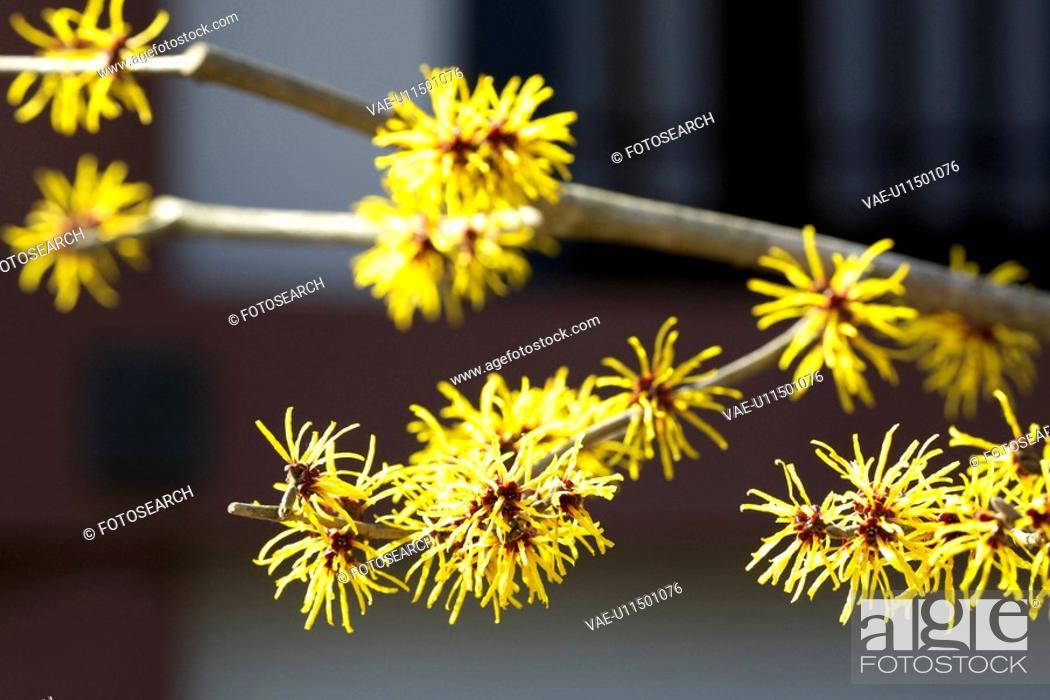 Stock Photo: ,gamamelis japonica.