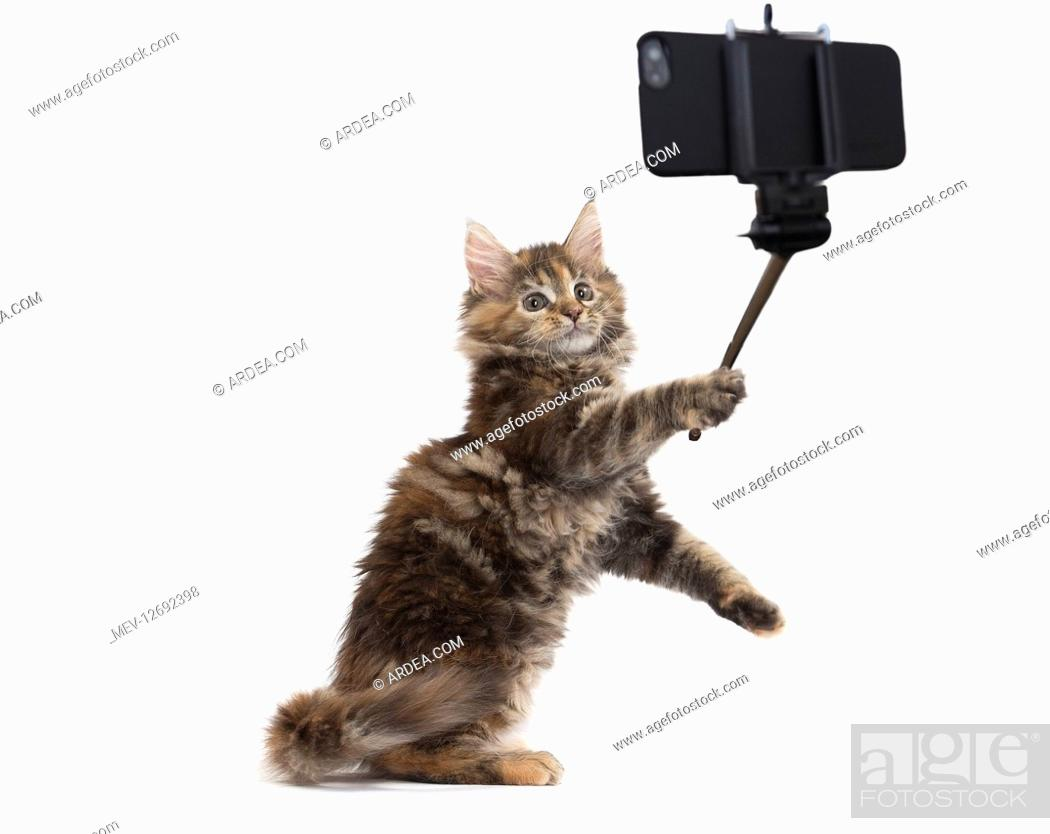Stock Photo: Maine Coon Cat, kitten on hind or back legs taking a selfie.