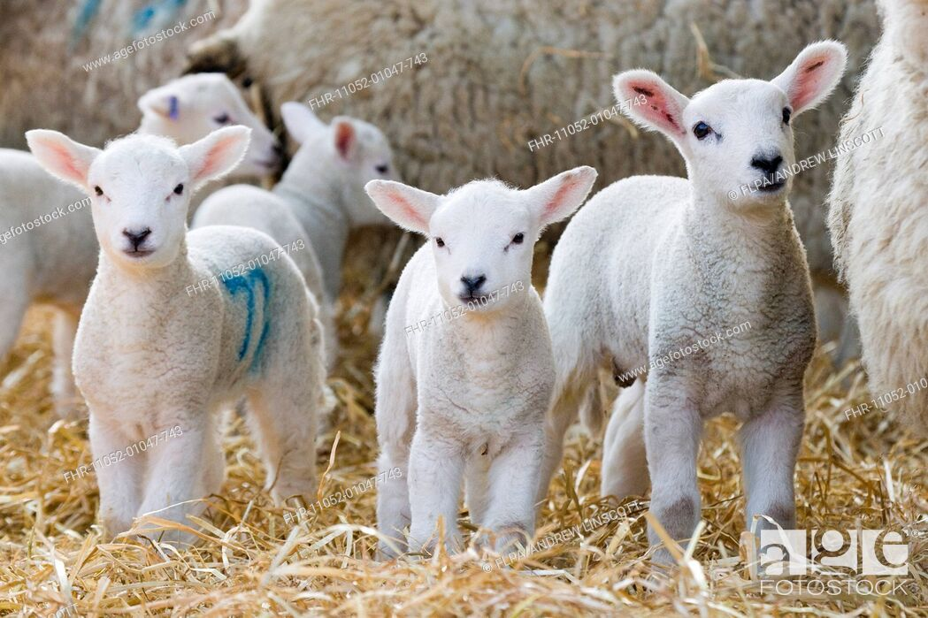 Stock Photo: Domestic Sheep, lambs, standing with ewes on straw bedding, North Yorkshire, England, march.