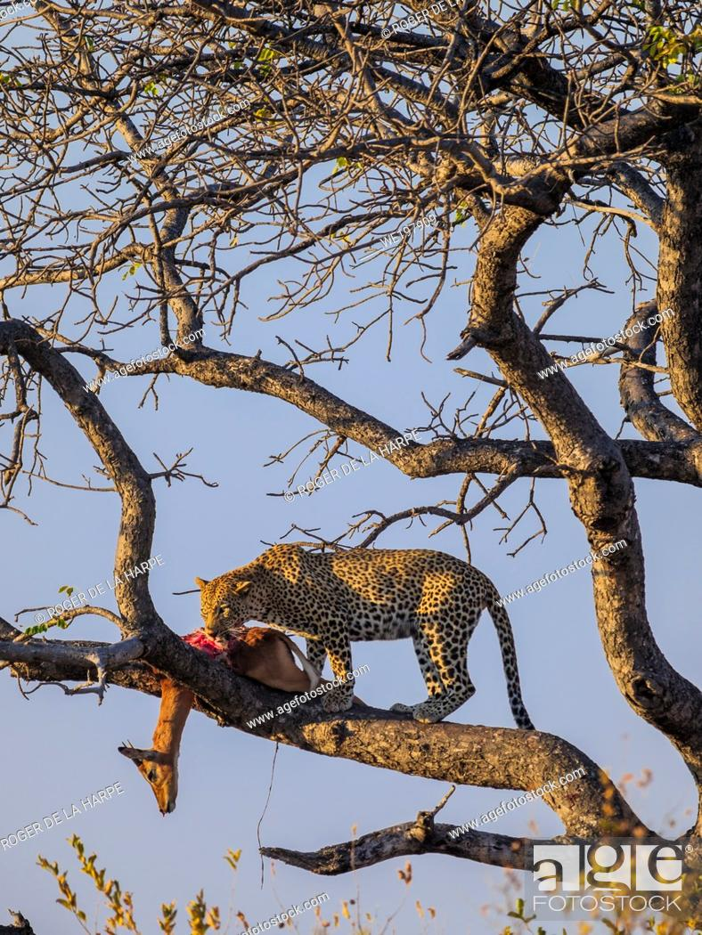 Stock Photo: Awesome leopard (Panthera pardus) in a tree with its Impala {Aepyceros melampus} kill. Mpumalanga. South Africa.