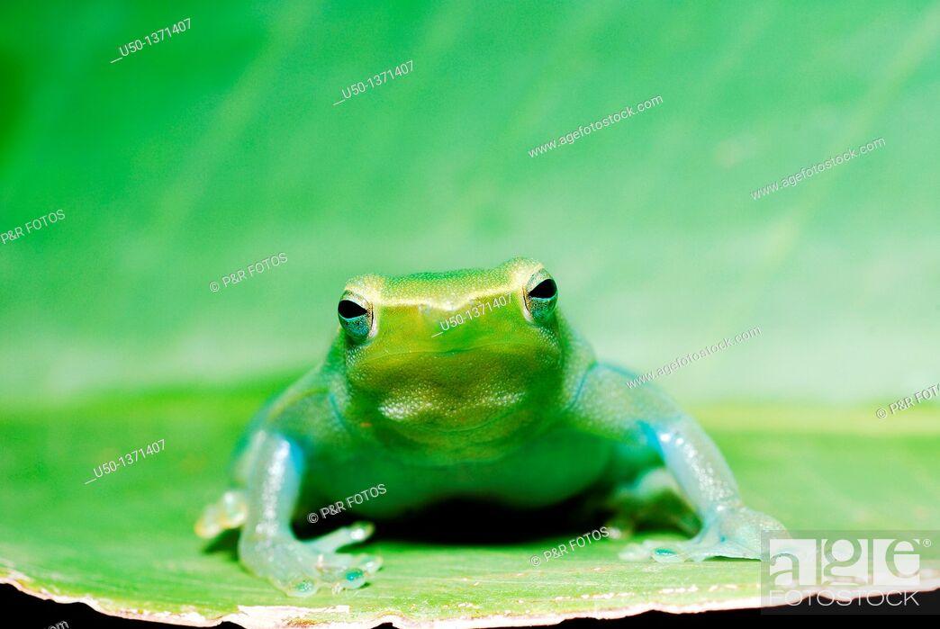 Stock Photo: Green tree frog Hylidae, Anura, 2009.